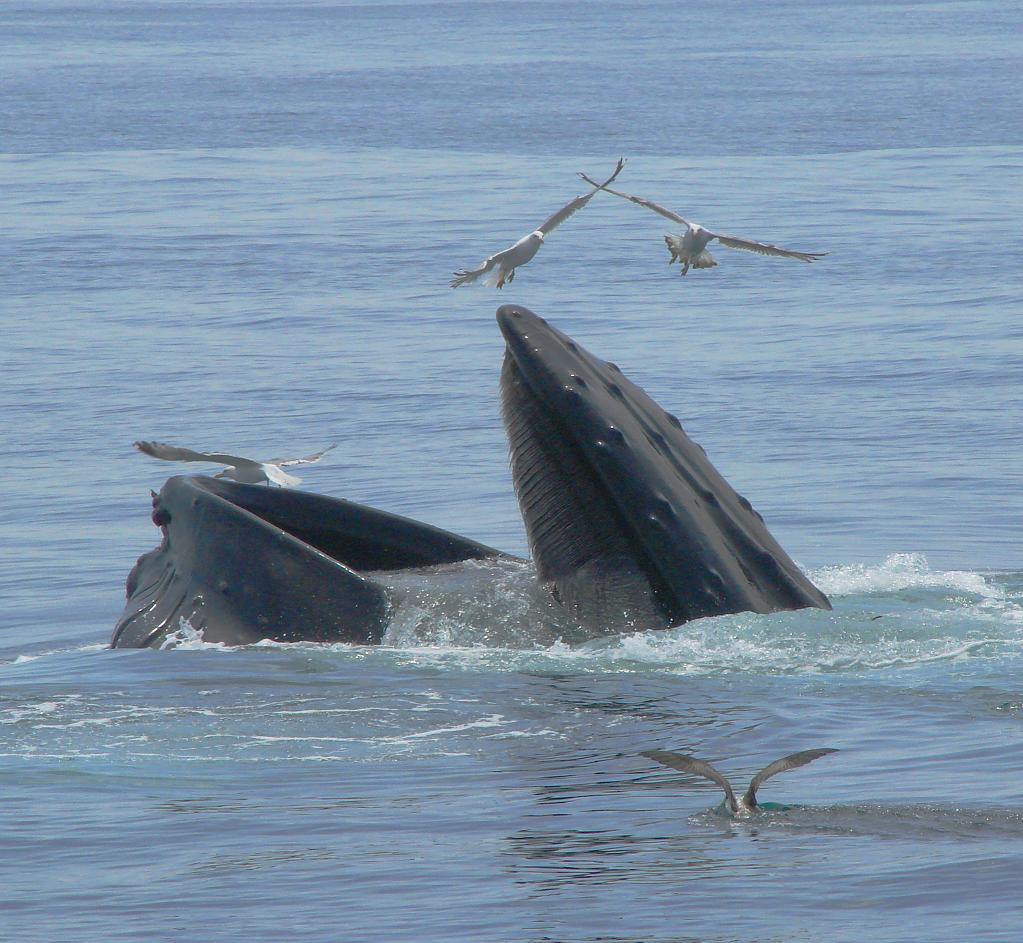 Summer feast - forage feeding humpback whale on Stellwagen Bank